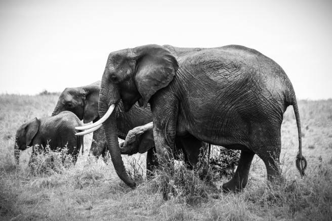 adventure-africa-african-elephants-861321.jpg